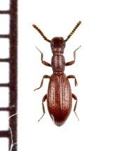好蟻性のゴミムシダマシの一種 Dichillus corsicus イタリア