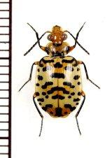 ゴミムシの一種 Carabidae species ペルー