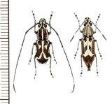 ヒゲナガゾウムシの一種 Xenocerus sp. ペア ソロモン諸島(ガダルカナル島)