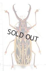 オオキバウスバカミキリ Macrodontia cervicornis 特大♂150mm ペルー