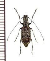ヒゲナガゾウムシの一種 Anthribidae species ベトナム北東部