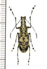 ヒゲナガゾウムシの一種 Anthribidae species ♀ ベトナム南部