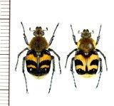 マルハナバチ擬態のトラハナムグリの一種  Trichius fasciatus ペア ロシア