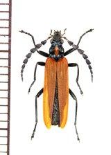 ベニボタル擬態のジョウカイボンの一種 Cantharidae species オーストラリア