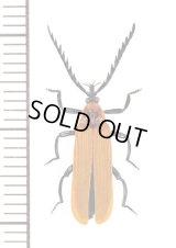 ベニボタルの一種 Lycidae species オーストラリア