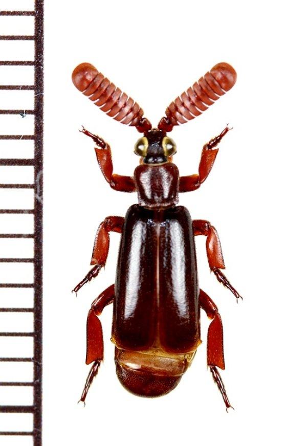 画像1: ヒゲブトオサムシ族の一種 Arthropterus sp. オーストラリア