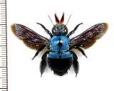 クマバチの一種 Xylocopa caerulea ♀  インドネシア(ジャワ島)