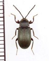 好白蟻性のゴミムシダマシの一種 Gonocnemis sp. 中央アフリカ