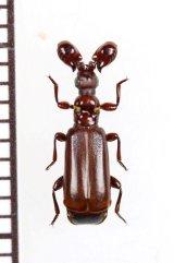 ヒゲブトオサムシ族の一種 Paussus sp. ザンビア