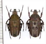 コツノハナムグリの一種 Mycteristes sp. ペア 中国(四川省)