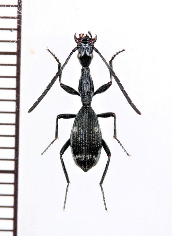 画像1: ゴミムシの一種 Carabidae species モザンビーク