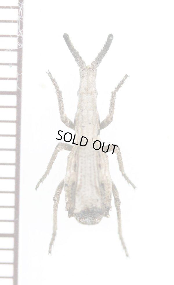 画像1: アレチミツギリゾウムシの一種 Episus sp. タンザニア