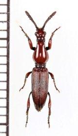 ミツギリゾウムシの一種 Brentidae species  中国(雲南省)