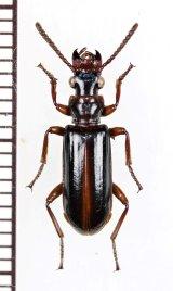 エグリゴミムシの一種 Ozaenini species ペルー