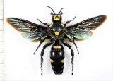 オオツチバチの一種 Megascolia procer ♀   インドネシア(ジャワ島)