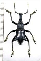 ゾウムシの一種  Gymnopholus weiskei ♂ パプアニューギニア(ニューギニア島)