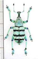 ホウセキゾウムシの一種  Eupholus schoenherri  インドネシア(ニューギニア島)