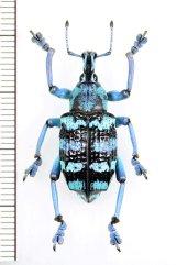ホウセキゾウムシの一種 Eupholus linnei  インドネシア(ケイ・ベサル島)