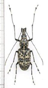 ヒゲナガゾウムシの一種 Anthribidae species 中国(雲南省)