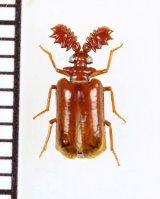 ヒゲブトオサムシ族の一種 Lebioderus sp. 中国(広西チワン族自治区)