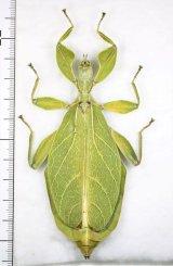 コノハムシの一種 Phyllium tobeloense bhaskarai ♀ インドネシア(モロタイ島)