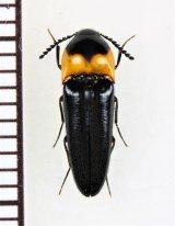コメツキムシの一種 Ampedus sp.  ベトナム南部