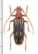 ミツギリゾウムシ擬態のカミキリムシの一種  Cerambycidae species ♀  ベトナム南部