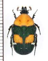 コアオハナムグリの一種 Gametis bealiae ♀ ベトナム南部
