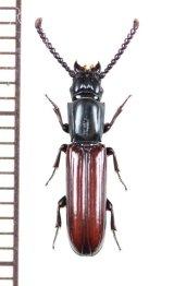ツツヒラタムシの一種 Passandra sp. ベトナム中部