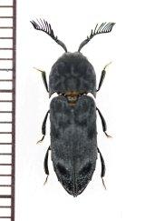 コメツキダマシの一種 Eucnemidae species ベトナム中部