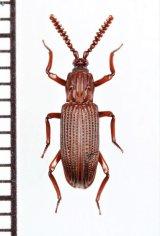 好白蟻性のゴミムシダマシの一種 Nepaloplonyx yunnanensis 中国(雲南省)