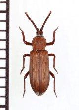 好白蟻性のゴミムシダマシの一種 Ziaelas formosanus 中国(雲南省)