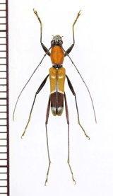 アリバチ擬態のカミキリムシの一種 Cerambycidae species ♂ 中国(雲南省)