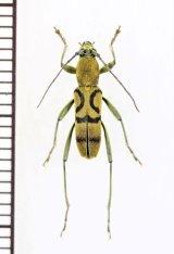 トラカミキリの一種 Clytini species ベトナム南部