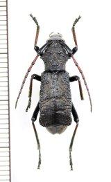 カミキリムシの一種 Petromorphus yunnanus ♀ 中国(雲南省)