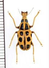 テントウムシ擬態のヒゲナガゾウムシの一種 Anthribidae species  フィリピン(ルソン島)