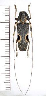 眼状紋を持つカミキリムシの一種 Cerambycidae species ♀ 中国(広西チワン族自治区)