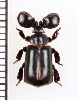 ヒゲブトオサムシ族の一種 Platyrhopalopsis sp. 中国(雲南省)