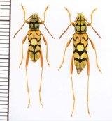 トラカミキリの一種 Clytini species ペア ベトナム北西部