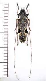 眼状紋を持つカミキリムシの一種 Cerambycidae species ♀  ベトナム中部