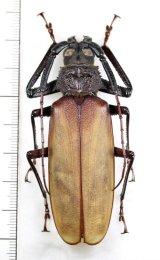 カミキリムシの一種  Bandar sp. 大型♂74mm ベトナム北中部
