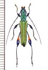カミキリムシの一種  Cerambycidae species  ベトナム北東部