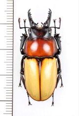 クワガタムシの一種  Neolucanus baongocae ♂35.6mm ベトナム中部
