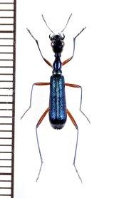 クビナガハンミョウの一種 Neocollyris species ♂ ベトナム中部