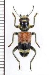 アリバチ擬態のカッコウムシの一種  Cleridae species ベトナム南部