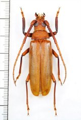 ウスバカミキリの一種 Prioninae  species ベトナム中部