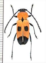 カミキリムシの一種 Purpuricenus quadrinotatus ♀ インドネシア(ララット島・タンニバル諸島)