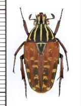 セスジツノカナブン Chordodera quinquelineata ♂ カメルーン