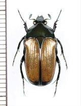 トガリカナブンの一種 Gnathocera sp. ♂ カメルーン