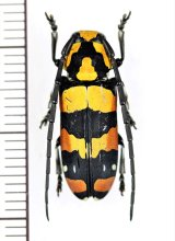 カミキリムシの一種 Tragocephala mima ♀ タンザニア